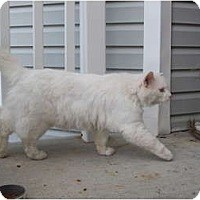 Adopt A Pet :: White Cat - Washington Terrace, UT