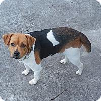 Adopt A Pet :: Bella - Ormond Beach, FL