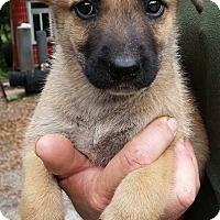 Adopt A Pet :: Meredith - Gainesville, FL