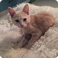 Adopt A Pet :: Sherbet - Deerfield Beach, FL