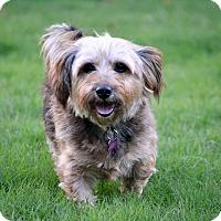 Bedminster, NJ - Yorkie, Yorkshire Terrier/Shih Tzu Mix. Meet Madeline ...