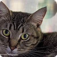 Bengal Cat for adoption in Holden, Missouri - Max