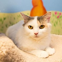 Domestic Mediumhair Cat for adoption in Marlboro, New Jersey - Katy Purry