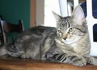 Domestic Mediumhair Cat for adoption in SeaTac, Washington - NV - Kayla (MCR)