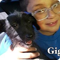 Adopt A Pet :: Gigi-ADOPTION PENDING - Boulder, CO
