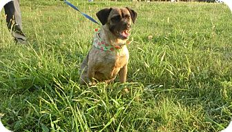 Pug/Beagle Mix Dog for adoption in Glastonbury, Connecticut - Juju Bean~ meet me!