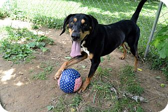 Black and Tan Coonhound/Catahoula Leopard Dog Mix Dog for adoption in Broadway, New Jersey - Brownie
