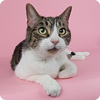 Domestic Shorthair Cat for adoption in Wilmington, Delaware - Hazel