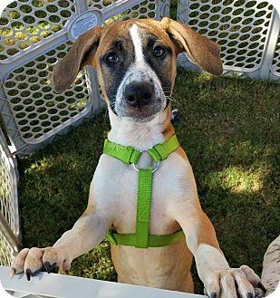 Pointer/Hound (Unknown Type) Mix Dog for adoption in Wichita Falls, Texas - Luna