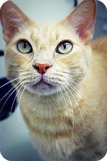 Domestic Shorthair Cat for adoption in Casa Grande, Arizona - Cheddar