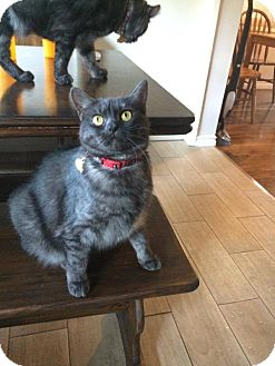 Exotic Cat for adoption in Los Angeles, California - Bella