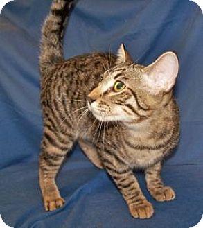 Domestic Shorthair Kitten for adoption in Colorado Springs, Colorado - Elliott