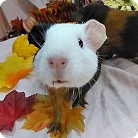 Adopt A Pet :: Hansel - Alexandria, VA