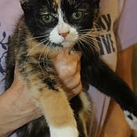 Calico Kitten for adoption in Louisville, Kentucky - Louise