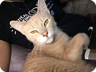 Domestic Shorthair Cat for adoption in Keller, Texas - Luigi