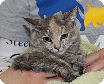 Domestic Mediumhair Kitten for adoption in Las Vegas, Nevada - ANDIE