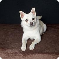 Adopt A Pet :: Bear - Van Nuys, CA