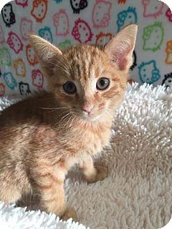 Domestic Shorthair Kitten for adoption in Fountain Hills, Arizona - AJAX
