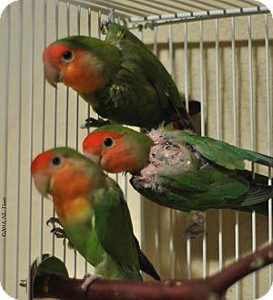 Lovebird for adoption in Shawnee Mission, Kansas - Opal