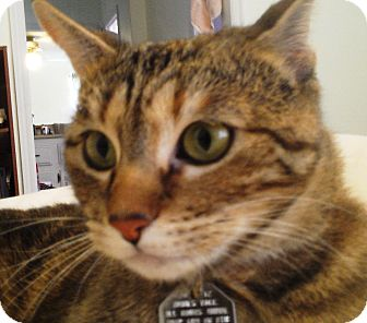 Domestic Shorthair Cat for adoption in Edmond, Oklahoma - Jewel