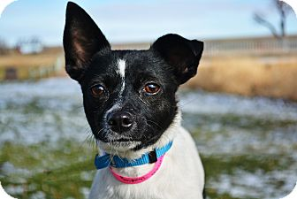 Rat Terrier Mix Dog for adoption in Cheyenne, Wyoming - Dumpling