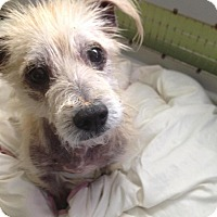 Terrier (Unknown Type, Medium) Mix Dog for adoption in Palmetto Bay, Florida - Chester