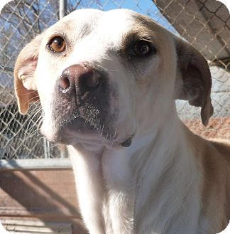 Labrador Retriever Mix Dog for adoption in Boaz, Alabama - Pringles