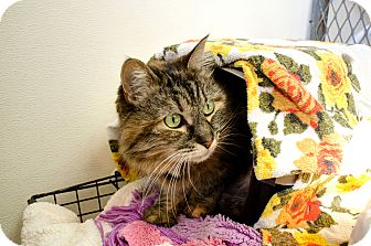 Maine Coon Cat for adoption in Hamilton, Montana - Sophie