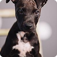 Adopt A Pet :: Carter - Portland, OR