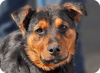 Prescott, AZ - Australian Shepherd/Rottweiler Mix. Meet ...Australian Shepherd Rottweiler Mix Information