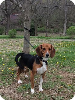 Hound (Unknown Type) Mix Dog for adoption in Atchison, Kansas - Clipper