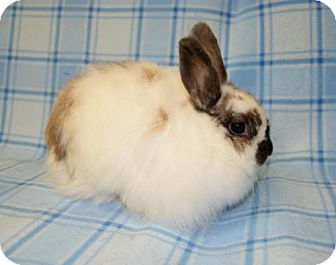 Jersey Wooly Mix for adoption in Chesterfield, Missouri - Abigail