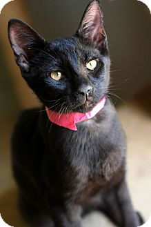 Domestic Shorthair Kitten for adoption in McCormick, South Carolina - Syd