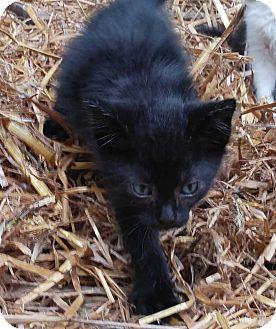 Domestic Shorthair Kitten for adoption in Kennesaw, Georgia - Onyx