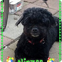 Adopt A Pet :: Nipzee - Greensboro, MD