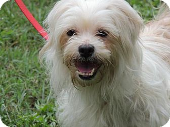 Shih Tzu/Terrier (Unknown Type, Medium) Mix Dog for adoption in Portland, Maine - TRIXIE