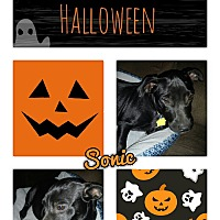 Dachshund/Labrador Retriever Mix Puppy for adoption in Springtown, Texas - Sonic