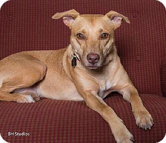 Labrador Retriever/Labrador Retriever Mix Dog for adoption in Houston, Texas - Linda