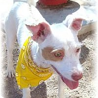 Terrier (Unknown Type, Small) Mix Dog for adoption in Las Vegas, Nevada - Tony