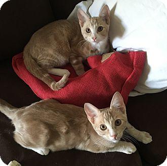 Domestic Shorthair Kitten for adoption in Los Angeles, California - Brady