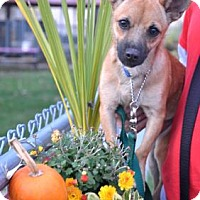 Adopt A Pet :: Josee - Northbrook, IL
