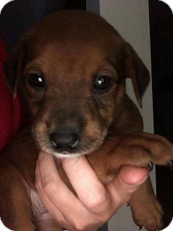 Pit Bull Terrier Mix Puppy for adoption in Charlotte, North Carolina - Cabernet