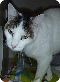 Domestic Shorthair Cat for adoption in Hamburg, New York - Wilson