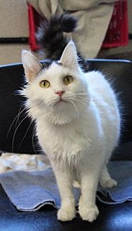 Domestic Mediumhair Cat for adoption in Fremont, Ohio - Storm