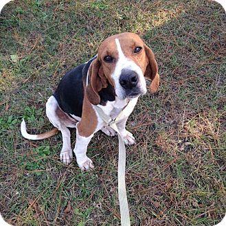 Beagle/Hound (Unknown Type) Mix Dog for adoption in Sagaponack, New York - Sweetie