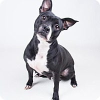 Adopt A Pet :: Liquorice - Decatur, GA