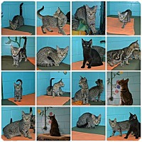 American Shorthair Kitten for adoption in Bishopville, South Carolina - Tabby Litter
