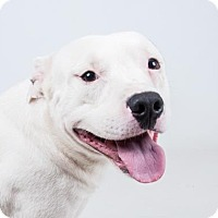 American Pit Bull Terrier Mix Dog for adoption in Decatur, Georgia - Ginseng