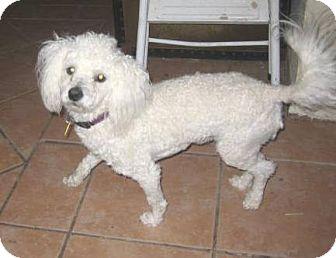 Bichon Frise/Poodle (Miniature) Mix Dog for adoption in Glendale, Arizona - Boomer
