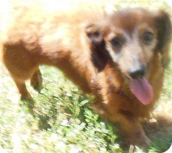 Dachshund Dog for adoption in MINNEAPOLIS, Kansas - Gopher